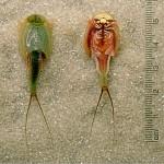 Triops-longicaudatus-dorsal-ventral-edit